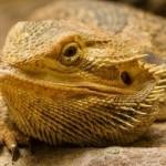 lizard - B - Scott2