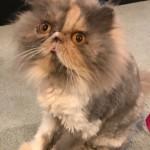 Lola persian